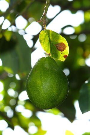 avocado on the tree photo
