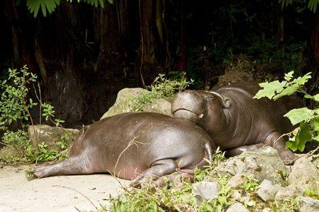 pigmy: pigmy hippo