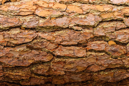bark background: tree bark background, old bark, wooden bark, old tree bark, tree bark, tree bark photo, bark photo, pine bark, tree photo, forest tree bark, tree texture, bark texture, tree bark, tree bark texture