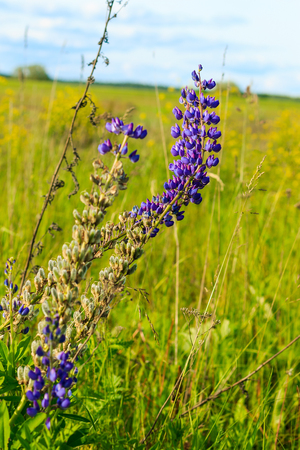 weald: Blooming Bright Purple Lavender Flowers at field background