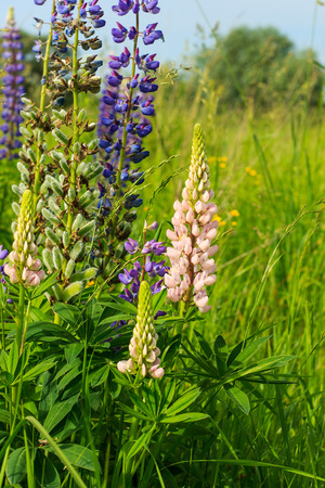 lupin: Lupinus, lupin, lupine field with pink purple and blue flowers at summer season