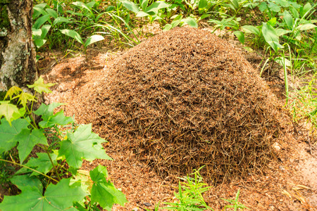 Anthill in pine forest at summer season Фото со стока