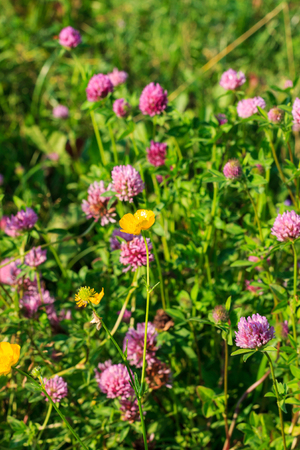 weald: wild yellow flowers at summer sunny day Stock Photo