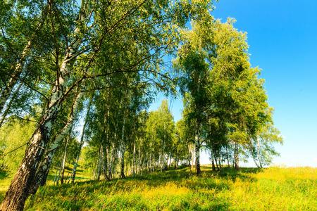 birchwood: Beautiful landscape - green summer birchwood. Birch forest at sunny day.