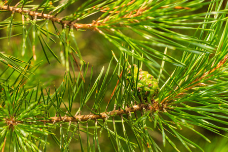 pine green: Young pine green cones in the forest at summer season
