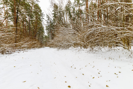 fallen tree: Landscape of winter pine forest covered with frost at mainly cloudly weather. First snow at autumn season. Stock Photo