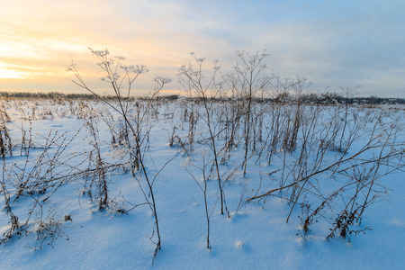 december sunrise: Branches covered with frost at winter season at sunset. Field in snow.