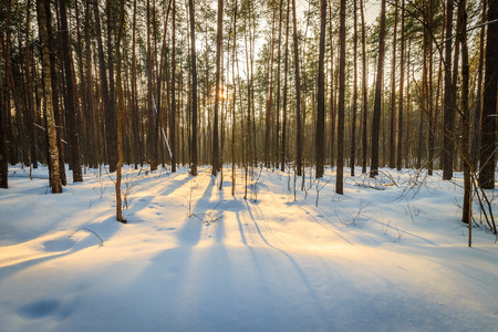 Landscape of spring pine forest covered with frost at sunset.