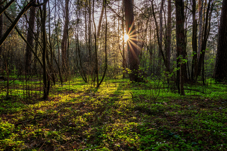 Scene of beautiful sunset at spring pine forest with trees,grass, young leaves and first flowers. Landscape.
