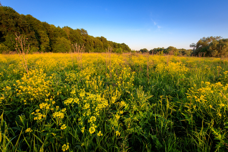 Field with yellow cinder flowers, trees and cloudy sky background in summer evening. Landscape.  Stock Photo