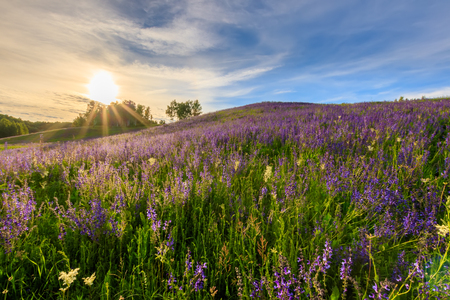 Sunset on a hill covered with lupines in summer season with cloudy sky. Landscape.