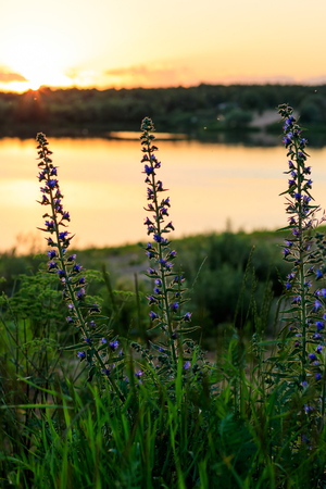 Blooming wild flowers in the summer season in golden hour wit pond background. Stock Photo