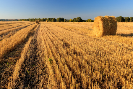 Haystacks on the field in Autumn season. Rural landscape with blue sky background. Golden harvest of wheat in evening.