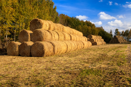 Haystacks on the field in Autumn season. Rural landscape with blue cloudy sky background. Golden harvest of wheat. Preparation of mixed fodder for animals.