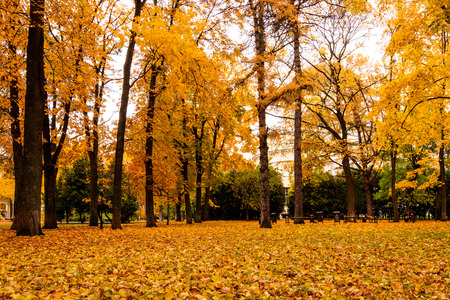Leaf fall in the park in autumn. Landscape with maples and other trees on a cloudy day. Stock Photo