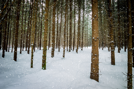 Landscape of winter spruce forest covered with frost at mainly cloudy weather with falling snow.