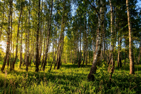 A scene of sunset in a birch forest on a sunny summer evening. Landscape. Stock Photo