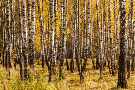 Yellow leaf fall in the birch forest in golden autumn. Landscape with trees on a sunny day. Stock fotó