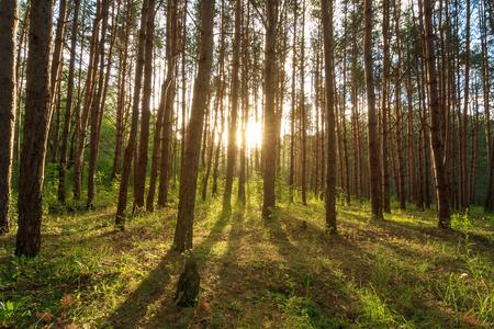 Escena de la hermosa puesta de sol en el bosque de pinos de verano con árboles y césped, paisaje