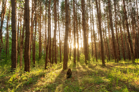 scene of beautiful sunset at summer pine forest with trees and grass, landscape