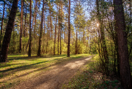 Scene of beautiful sunshine at spring-summer pine forest with trees,grass, footpath and young leaves. Landscape.