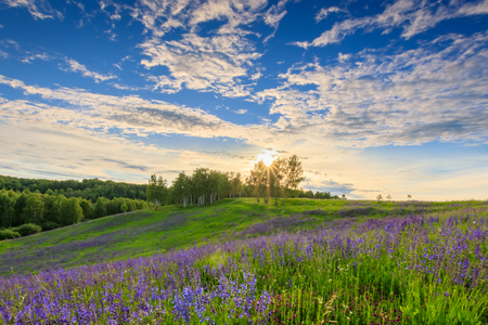 Sunset on a hill covered with lupines in summer or early spring season with cloudy sky background. Landscape. Banque d'images