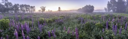 Twilight on a field covered with flowering lupines in spring or early summer season with fog and trees on a background in morning. Landscape. Panorama. Banque d'images