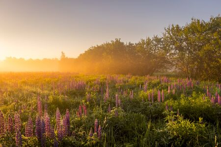 Sunrise on a field covered with flowering lupines in spring or early summer season with fog and trees on a background in morning. Landscape.