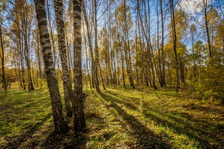 Birch forest on a clear autumn day with yellow leaves, pines and blue sky. Landscape.