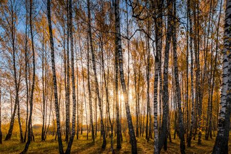 Yellow leaf fall in the birch forest in golden autumn on sunset. Landscape with trees on a sunny day and footpath.