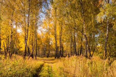 Yellow leaf fall in the birch forest in golden autumn. Landscape with trees on a sunny day and footpath.