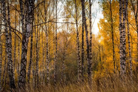 Yellow leaf fall in the birch forest in golden autumn. Landscape with trees on a sunny day. 版權商用圖片