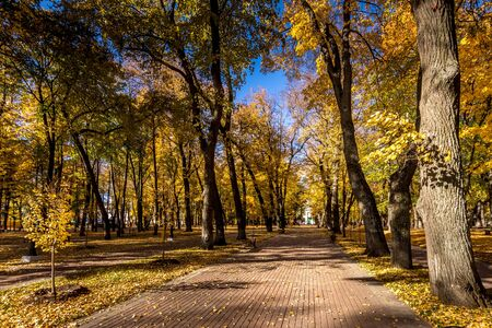 Yellow leaf fall in the park in golden autumn. Landscape with maples and other trees on a sunny day.