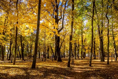 Gelbes Blatt fällt im Park im goldenen Herbst. Landschaft mit Ahornen und anderen Bäumen an einem sonnigen Tag. Standard-Bild