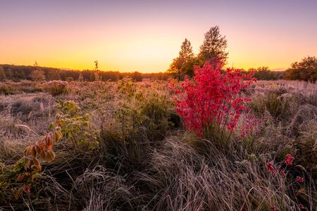 Twilight on a field with grass and bush with red leaves covered with frost in early autumn morning and trees on a background. Landscape.