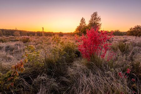 Scene of twilight on a field with grass and bush with red leaves covered with frost in early autumn morning and trees on a background. Landscape.