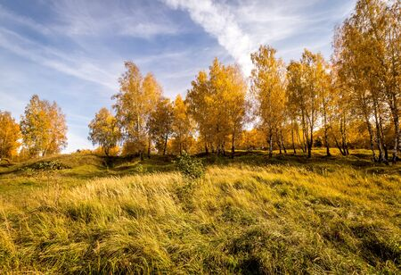 Birch trees with yellow leaves during the fall season. A clear sunny day in golden autumn.