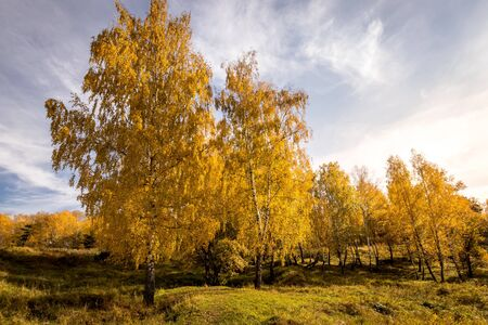 Birch trees with yellow leaves during the fall season with cloudy background.. Sunny day in golden autumn.