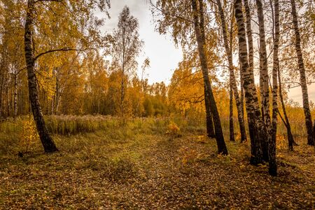 Scene of sunset in the birch forest in golden autumn. Landscape with trees on a sunny day and footpath. Leaf fall. 写真素材
