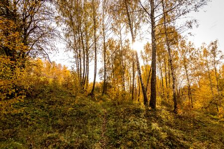 Birch trees with yellow leaves during the fall season. A clear sunny day in golden autumn. Landscape.