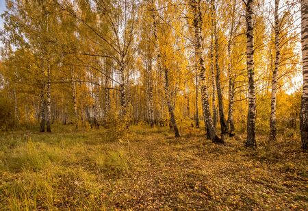 Scene of sunset in the birch forest in golden autumn. Landscape with trees on a sunny day and footpath. Leaf fall. Zdjęcie Seryjne - 131496170