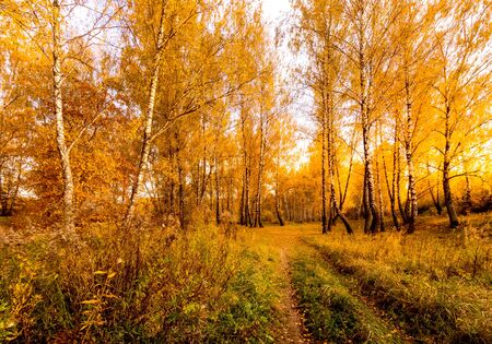 A path among birches with yellow leaves during the fall season. A clear sunny evening in golden autumn. Zdjęcie Seryjne