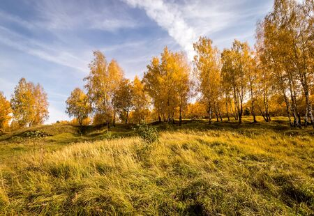 Birch trees with yellow leaves during the fall season. Sunny day in golden autumn. Landscape. Zdjęcie Seryjne
