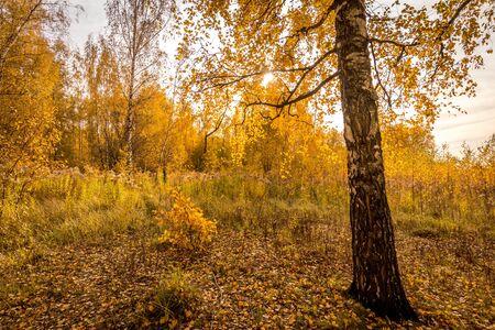 Gele bladval in het berkenbos in de gouden herfst bij zonsondergang. Landschap met bomen op een zonnige dag en voetpad. Stockfoto