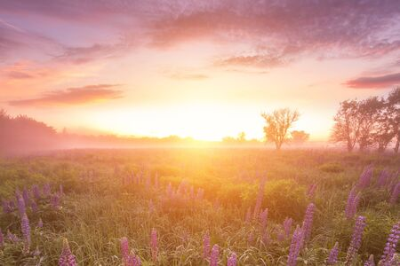 Twilight on a field covered with flowering lupines in spring or early summer season with fog, cloudy sky and trees on a background in morning. Landscape.