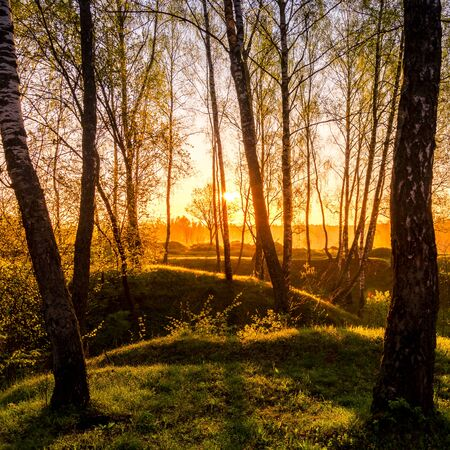 Sunrise or sunset in a spring birch forest with rays of sun shining through tree trunks by shadows and young green grass. Misty morning landscape.