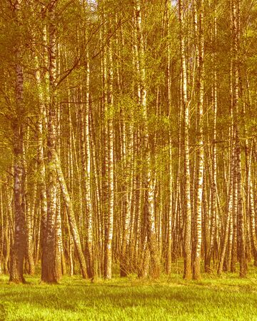Sunset or dawn in a spring birch forest with bright young foliage glowing in the rays of the sun and shadows from trees. Standard-Bild