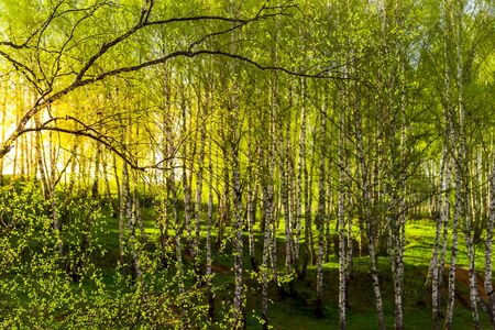 Sunset or dawn in a spring birch forest with bright young foliage glowing in the rays of the sun and shadows from trees.
