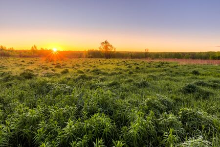Sunrise or sunset in a spring field with green grass, lupine sprouts, fog on the horizon and clear bright sky.