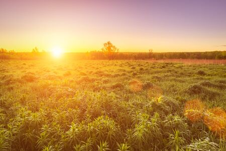 Sunrise or sunset in a spring field with green grass, lupine sprouts, fog on the horizon and clear bright sky. Sunbeam on a foreground.
